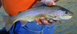 Rainbow Trout Photo by Wikipedia